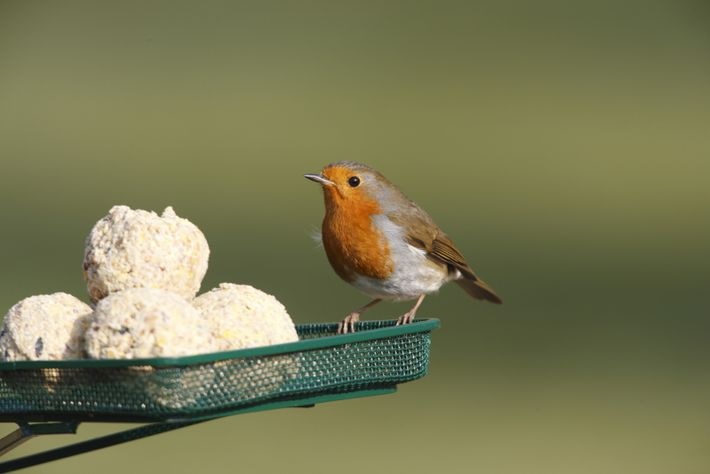 Providing fruity suet balls in a bird feeder is a good way to attract robins to ...