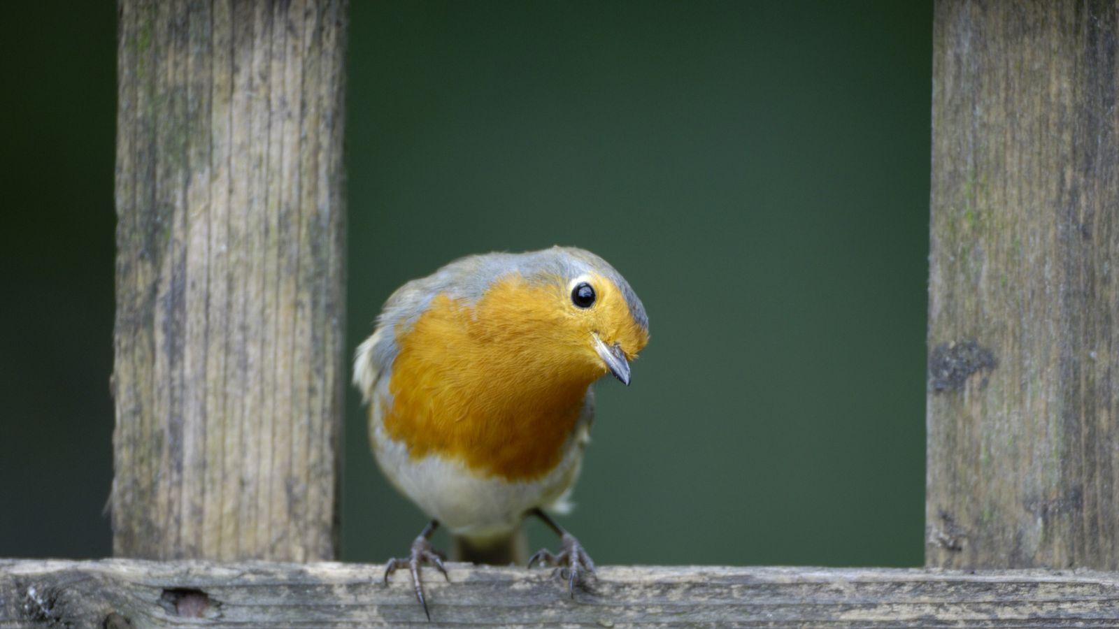 A robin, 'Erithacus rubecula', perched in garden trellis. The birds follow gardeners around hoping for worms ...