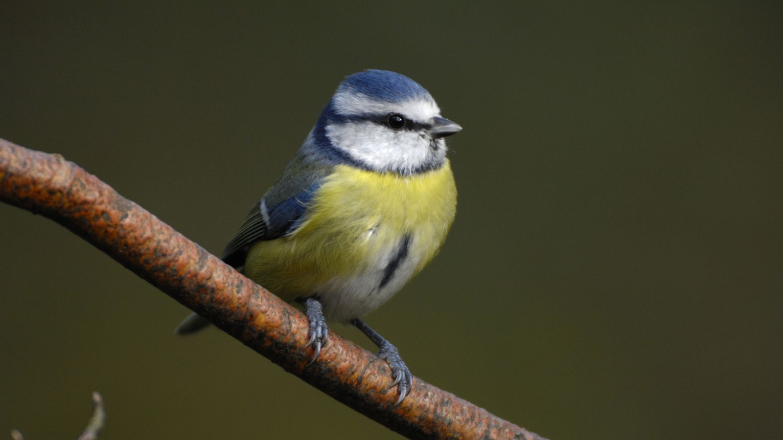 The blue tit is a regular garden visitor and can be seen all year round.