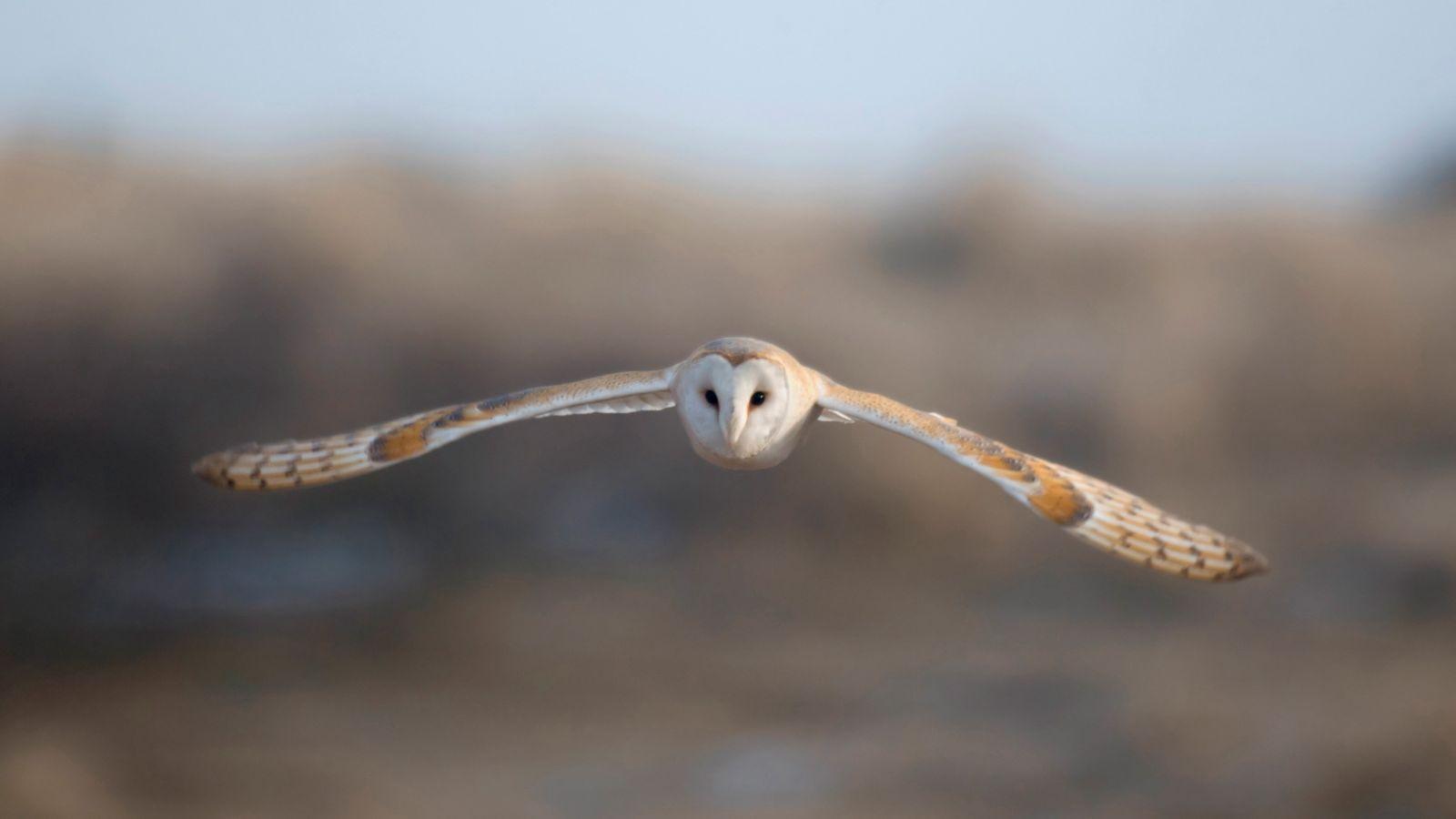 A barn owl ('Tyto alba') hunts across a field in Northumberland.