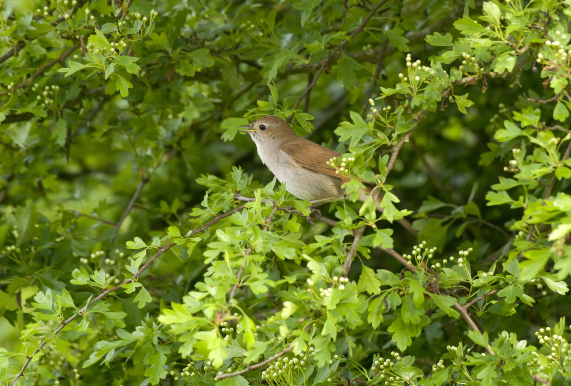 The Nightingale's song is the quintessential soundtrack to British summer evenings, but it is a song ...