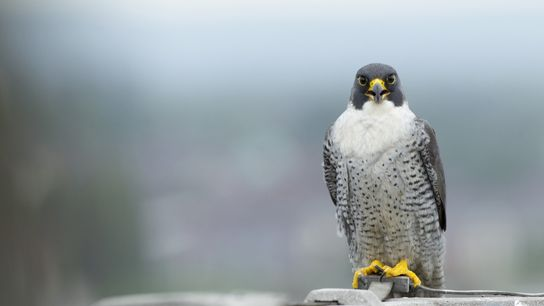 The peregrine falcon is the fastest bird on the planet, capable of reaching speeds of 200mph ...