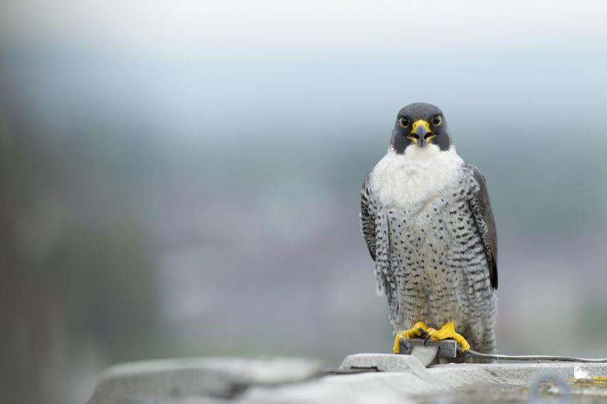 Oxford Scientists Study Peregrine Falcon Attack Strategies