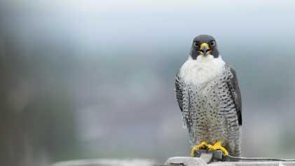 Peregrine falcon: Bird of the Week