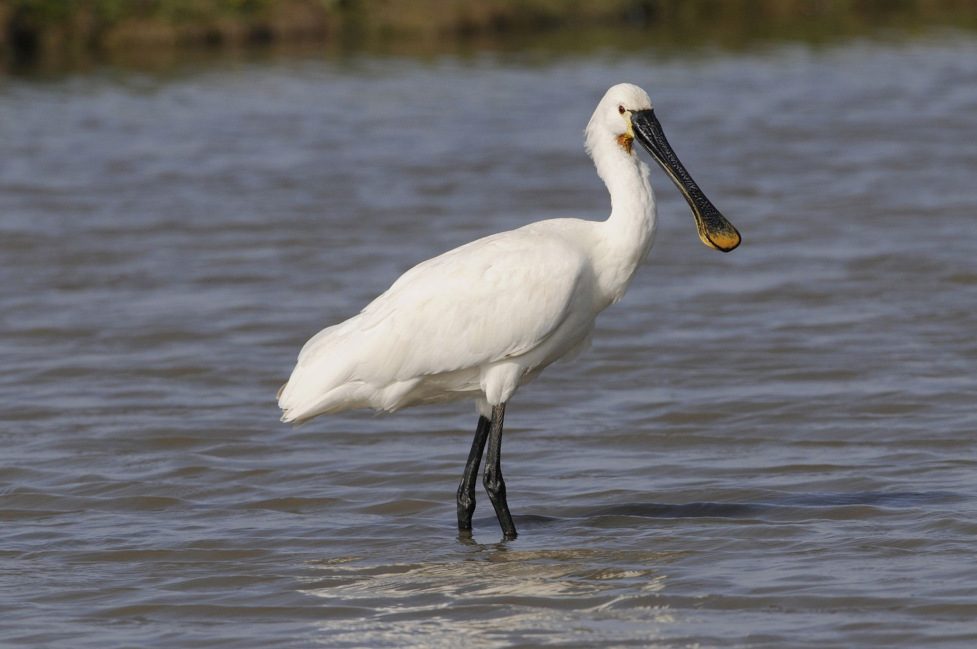 A spoonbill in summer plumage, Norfolk.