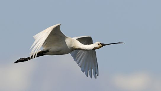 The impressive and elegant spoonbill in flight over marshland.