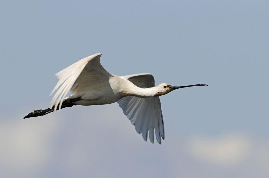 Bird of the Week: Spoonbill