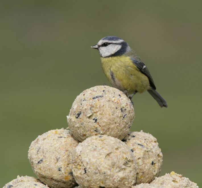 The blue tit has an average wingspan of 18 centimetres and weighs just 11 grammes.