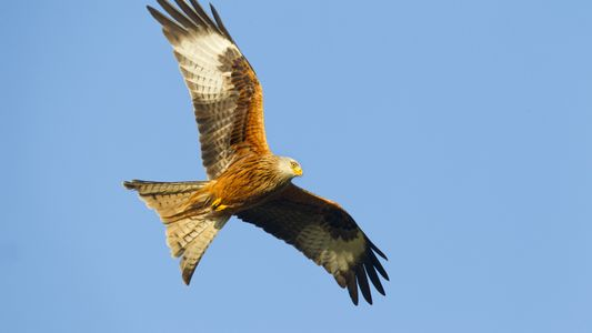Bird of the Week: Red Kite