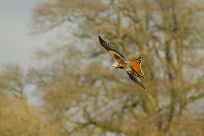 The red kite was protected during medieval times as they are scavengers and kept the streets ...