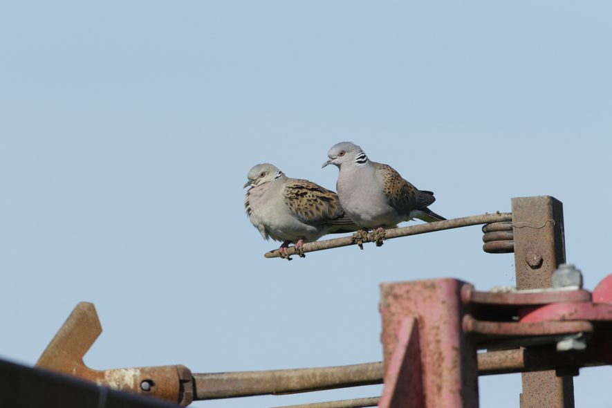 A pair of turtle doves perched on farm machinery in south-east England.