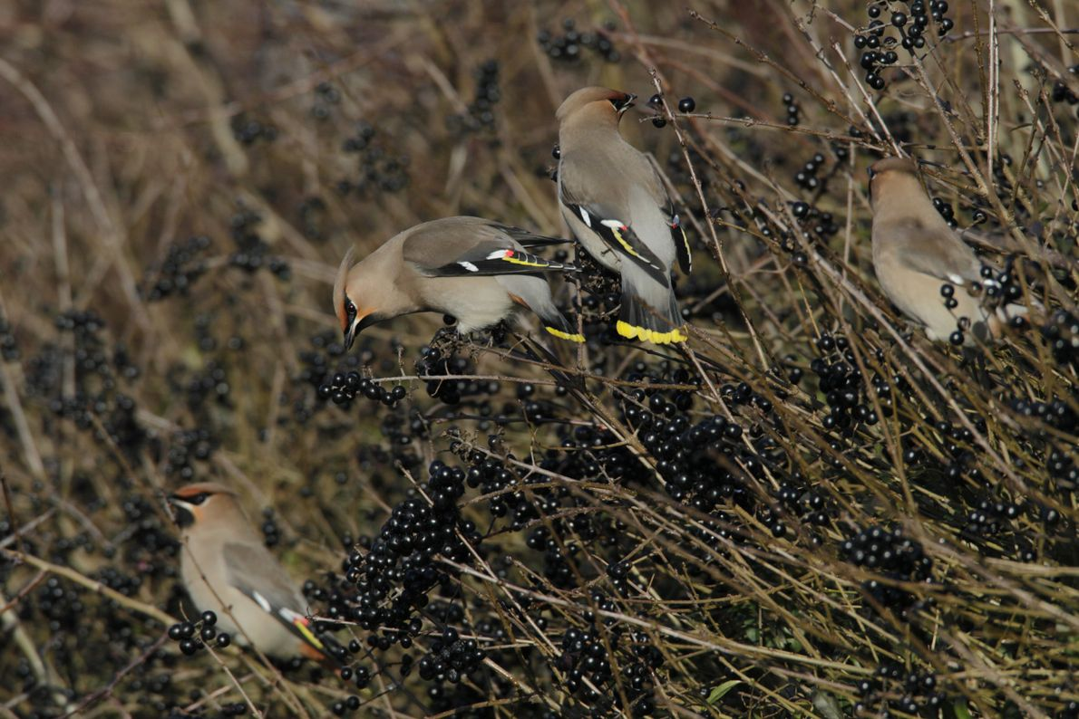 Waxwings will fly long distances in search of food. These birds are eating berries from wild ...