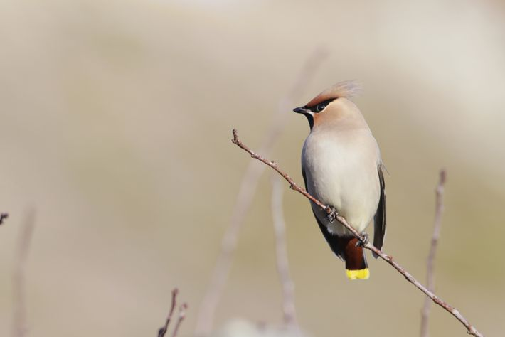 The waxwing tail is tipped with bright yellow and it has a small black mask around ...