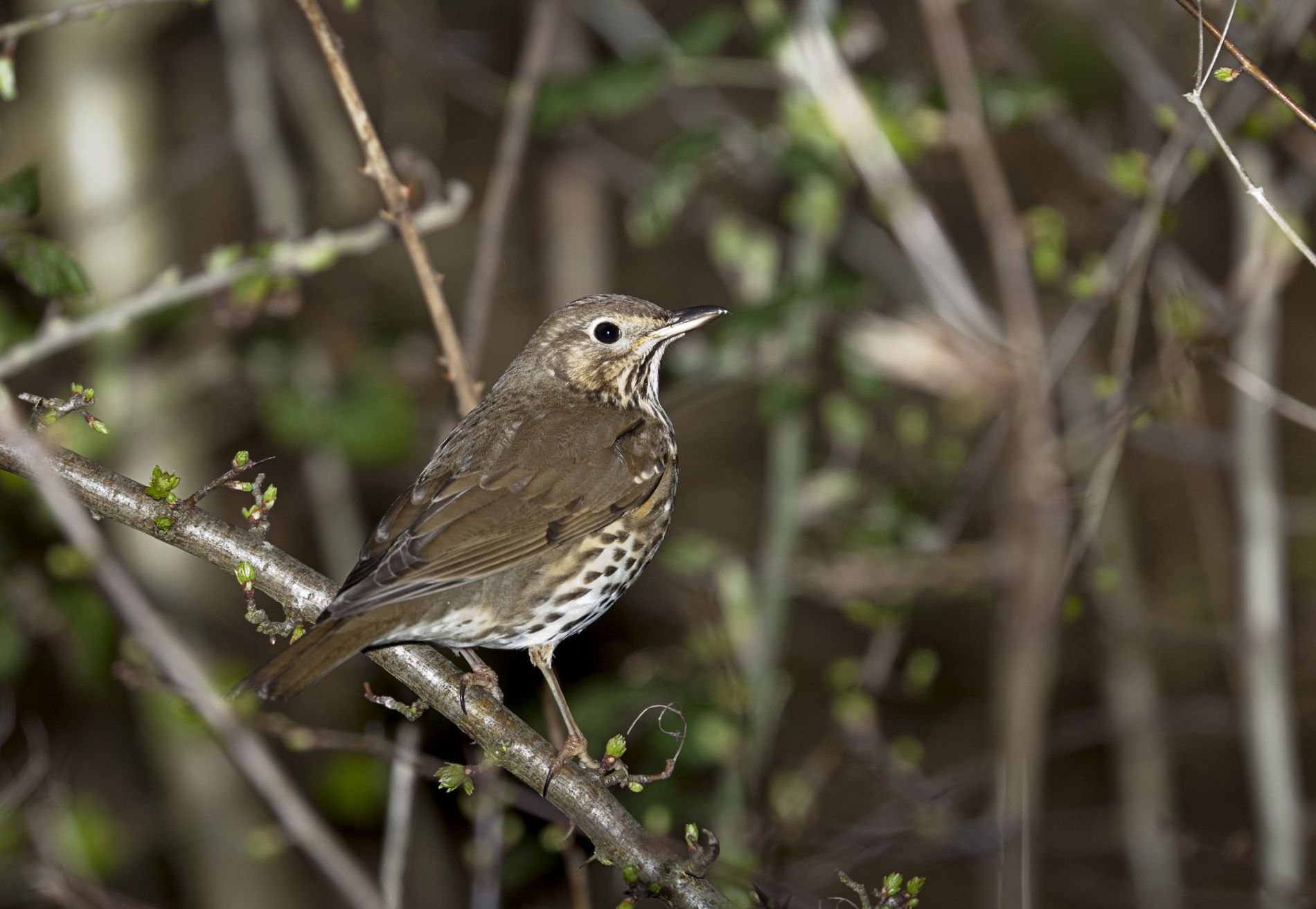 Song thrushes are in decline due to the lack of nesting sites, such as in hedgerows and trees.