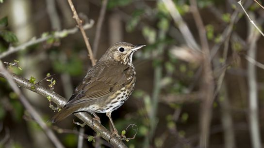 Song thrushes are in decline due to the lack of nesting sites, such as in hedgerows ...