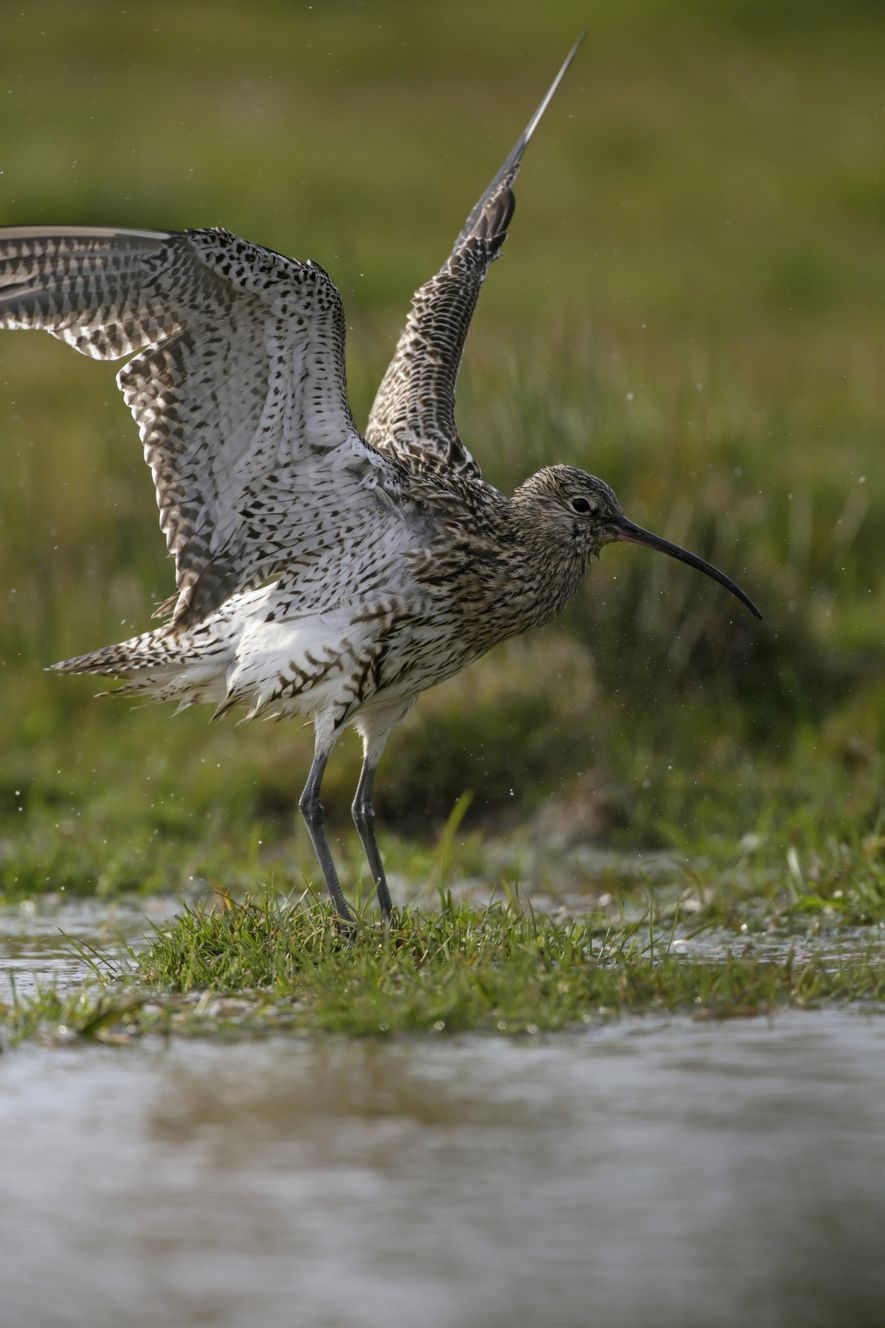 Even the species found in the UK, the eurasian curlew, has seen its breeding population halved ...