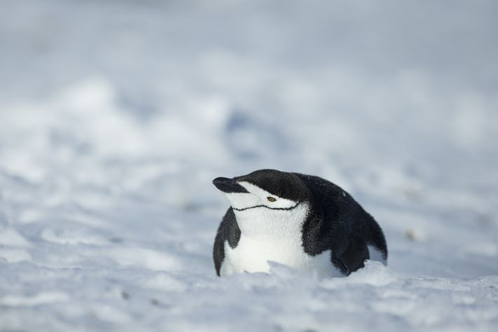 The distinctive chinstrap is clearly visible on this penguin, photographed at Cape Lookout, Elephant Island.