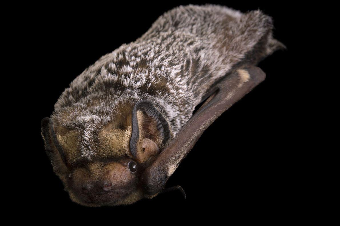 A hoary bat, Lasiurus cinereus, at the Sulphur Creek Nature Centre.