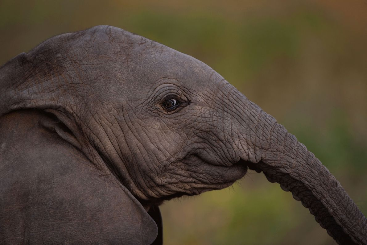 Young elephants often play until they drop.