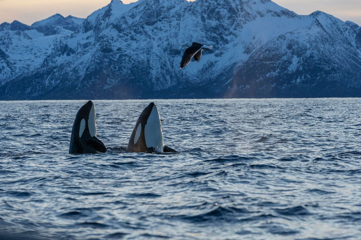 Orcas in the waters of the Andfjorden in Norway.