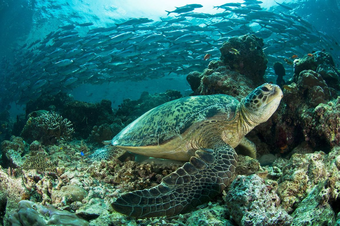 Green sea turtles perch on coral ledges during low tide on the island of Sipadan, Malaysia.