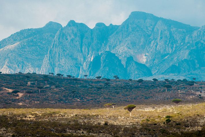 Diksum Plateau in the interior of Socotra hosts the largest population of dragon's blood trees, but ...