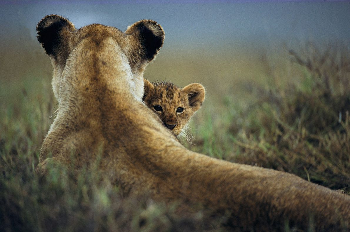 A lioness sits with her cub in Tanzania's Ngorongoro Conservation Area.