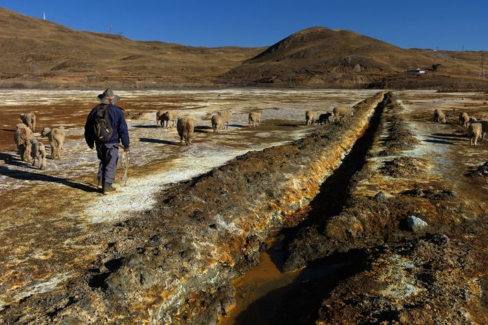 Martin Trinidad Saco, 70, guides his sheep over the highly contaminated bed of a dried-up lagoon ...