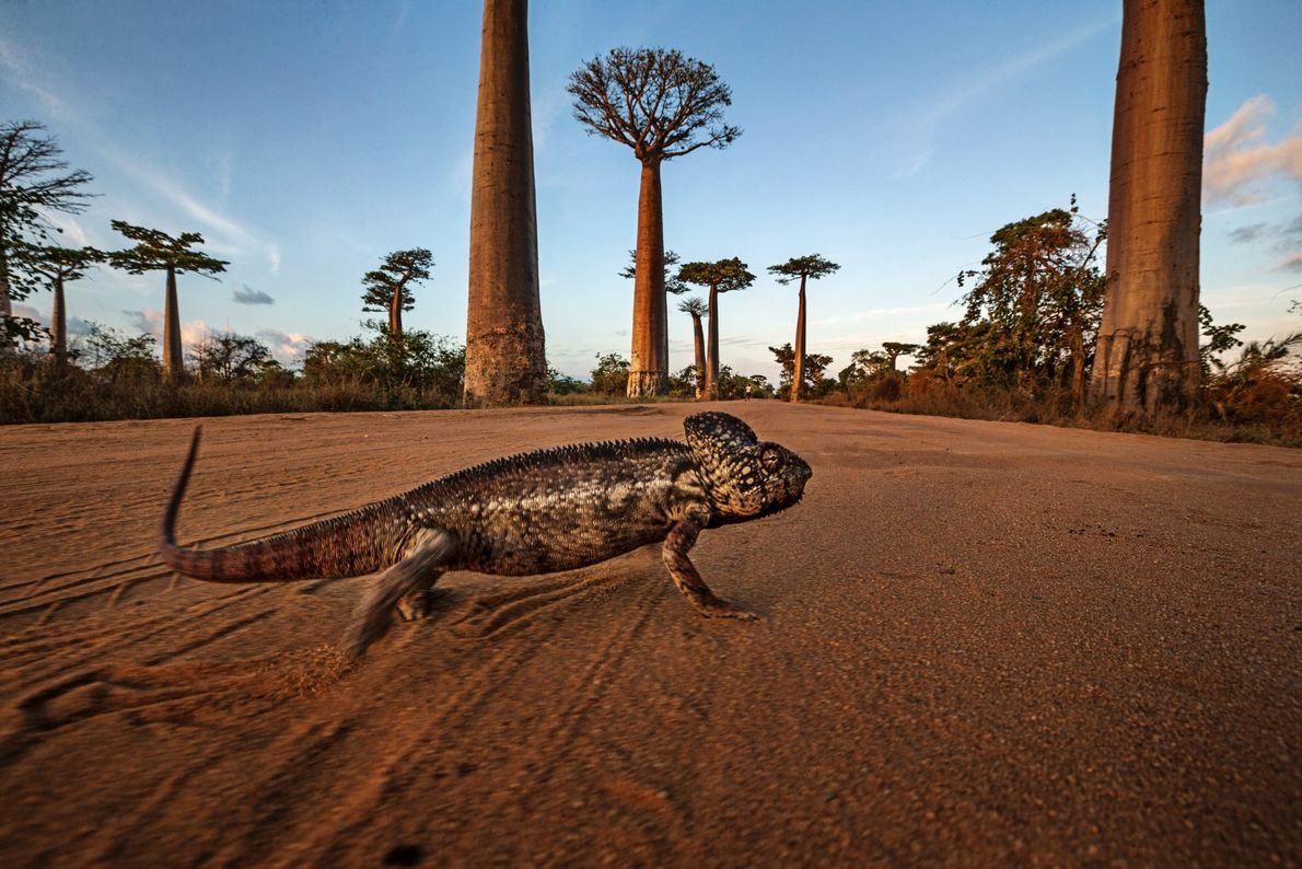 This two-foot-long (0.6 metres) Oustalet's chameleon in Allee des Baobab, Madagascar, is one of the larger ...