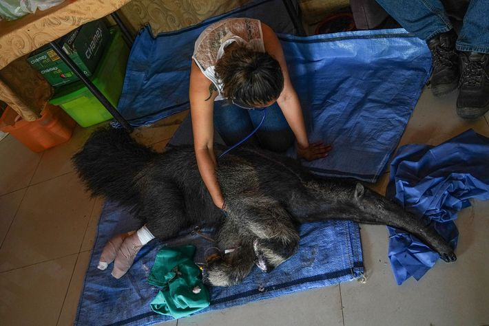 Biologist Daniela Vidal monitors Valentina the anteater's vital signs. Shortly after Valentina was admitted with third-degree ...