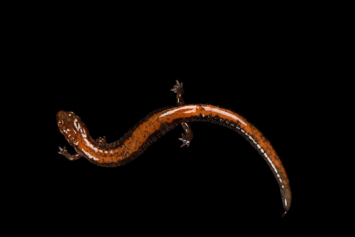 A redback salamander ('Plethodon cinereus') at the National Mississippi River Museum and Aquarium.