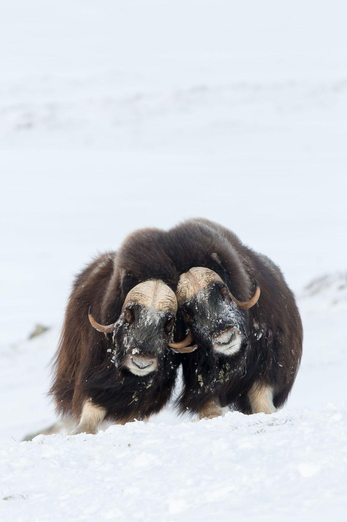 Musk oxen throw their weight around in Norway.