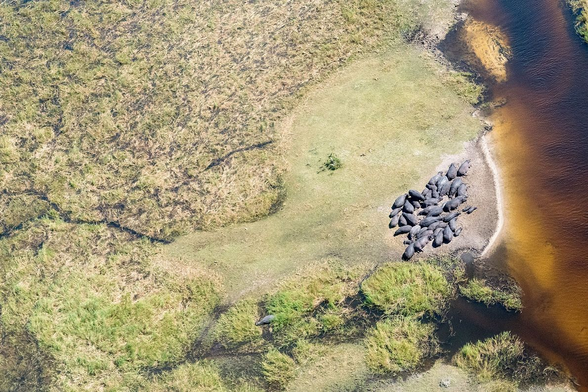 Hippos, Moremi, Central, Botswana.