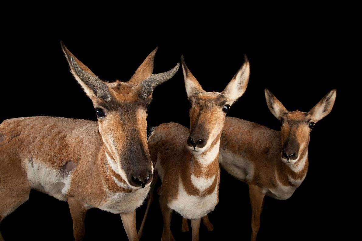 Pronghorn antelope have a unique set of branched 'horns' that can grow up to 30cm (12 ...