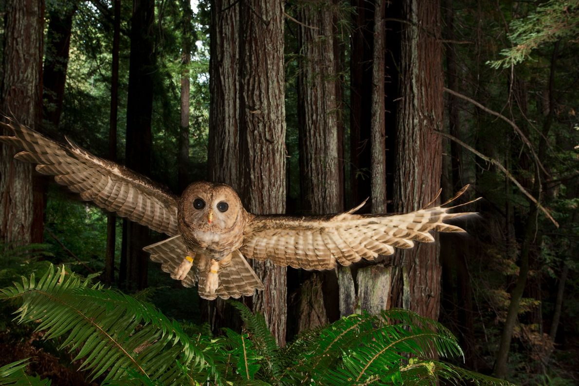 Northern spotted owl, Redwood forest, California, United States.
