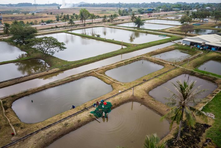 A government fish farm grows giant barb fish. Fish nurseries in the flooded forest around Tonle ...