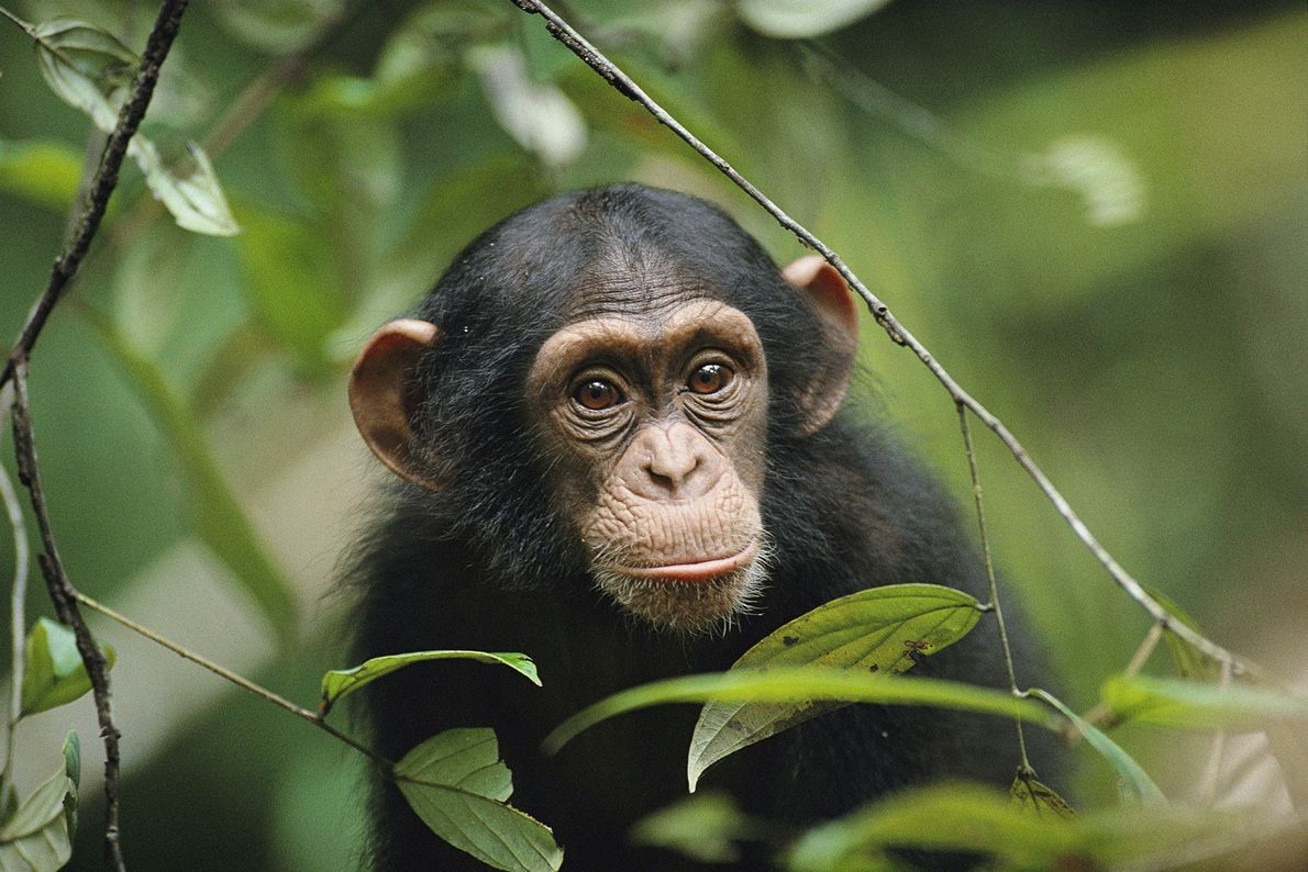 A young chimpanzee peeks through the leaves in Taï National Park, in Côte d'Ivoire