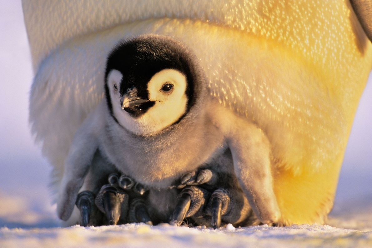 An emperor penguin chick sits on its parent's feet.