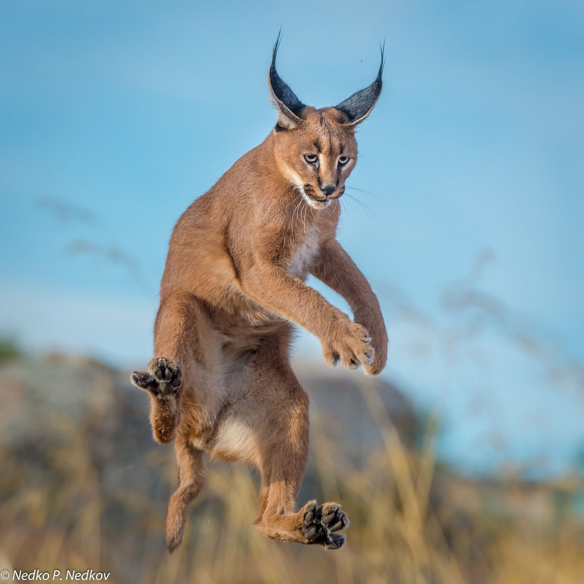 A caracal jumps to catch birds.