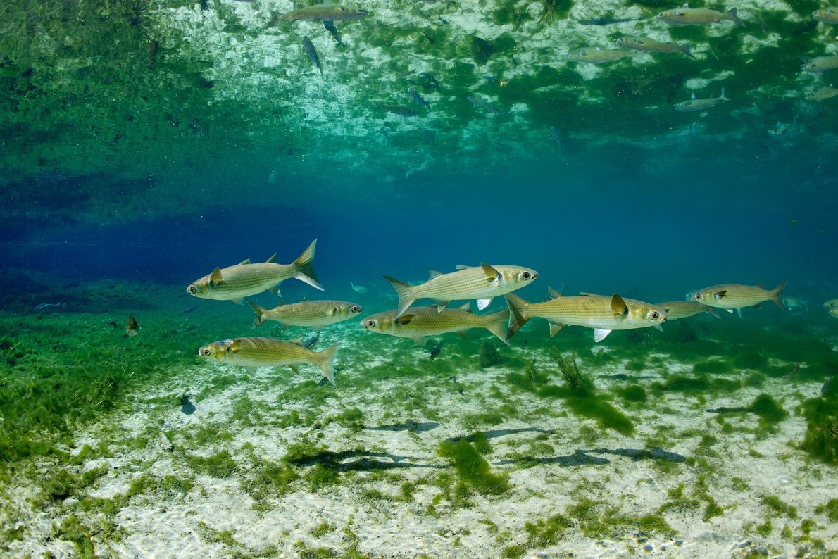 Striped mullet fish swim in a lake in Florida's Fanning Springs State Park. Mullets are a ...