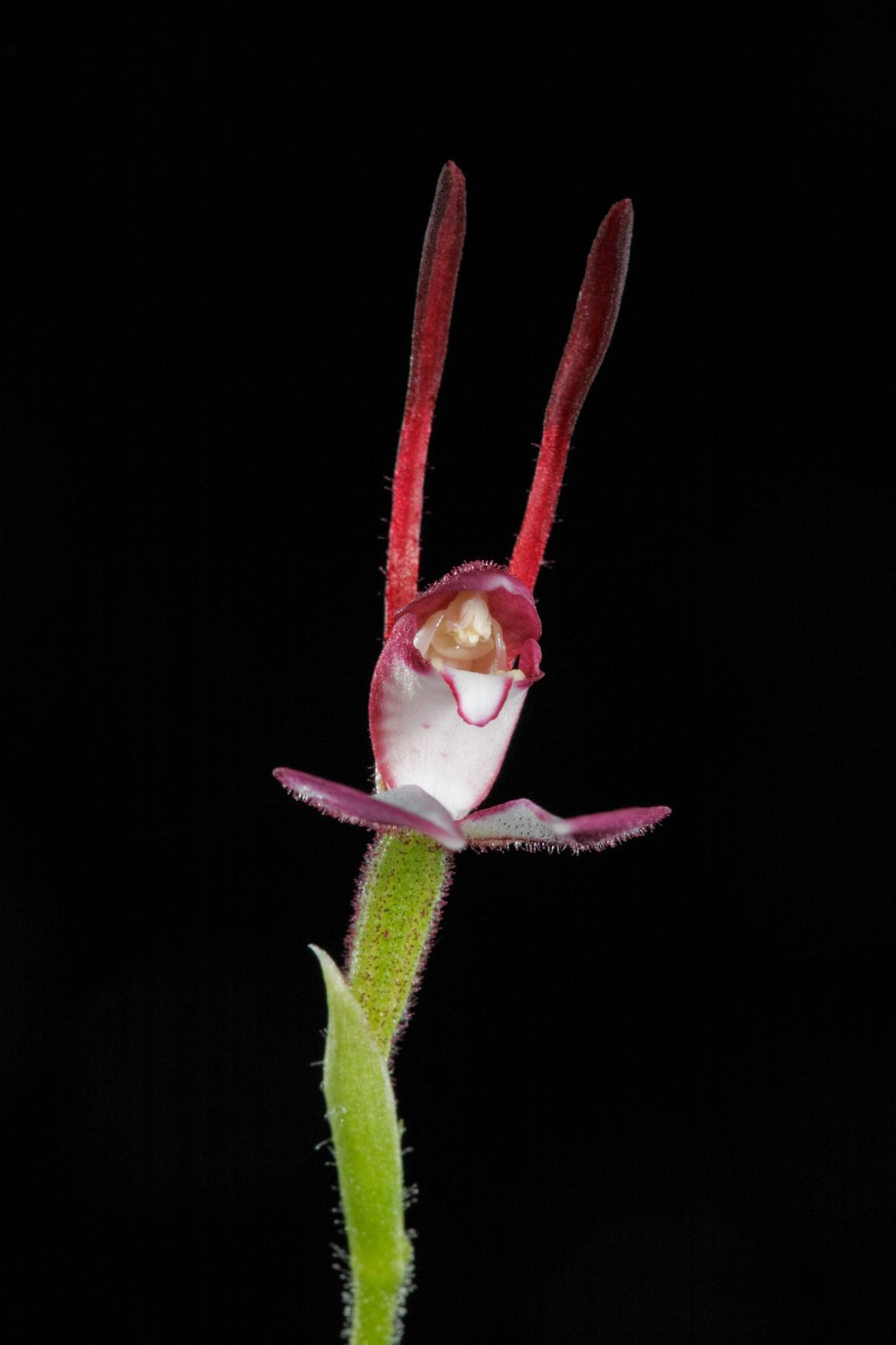Bunny orchids are native to Australia.