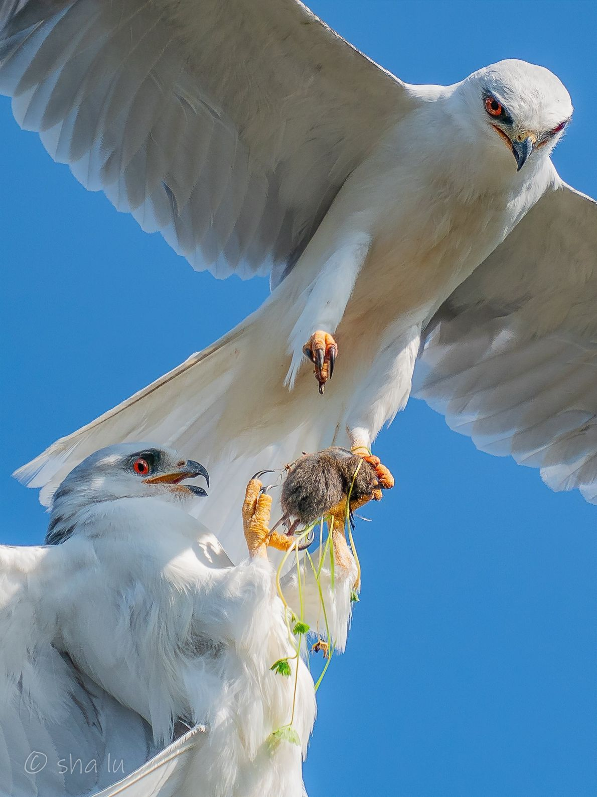 Your Shot photographer Sha Lu photographed white-tailed kites as they exchange food from one to the ...