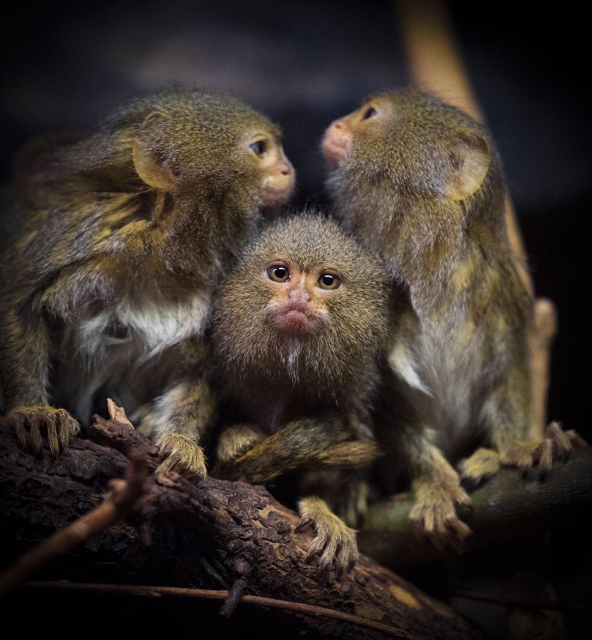 Your Shot photographer Peter Hoszang documented these marmosets in Riga, Latvia.
