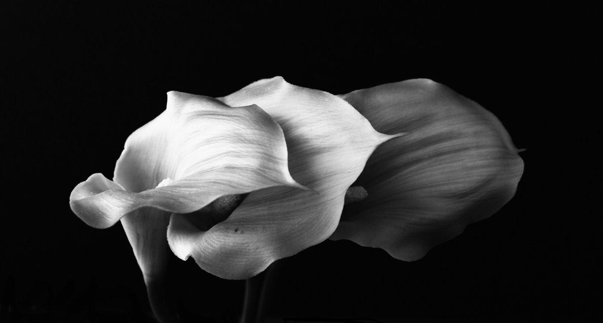 Your Shot photographer Sabrina von Ingelheim-McMillen made this still life of three calla lilies.