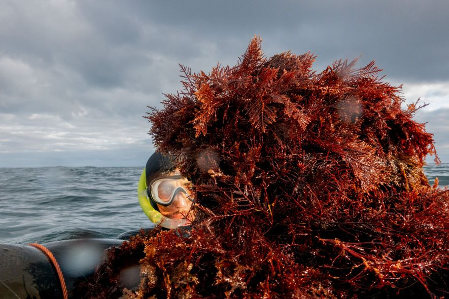 Even out of season when it's illegal to collect seaweed in Morocco, hundreds of divers work ...