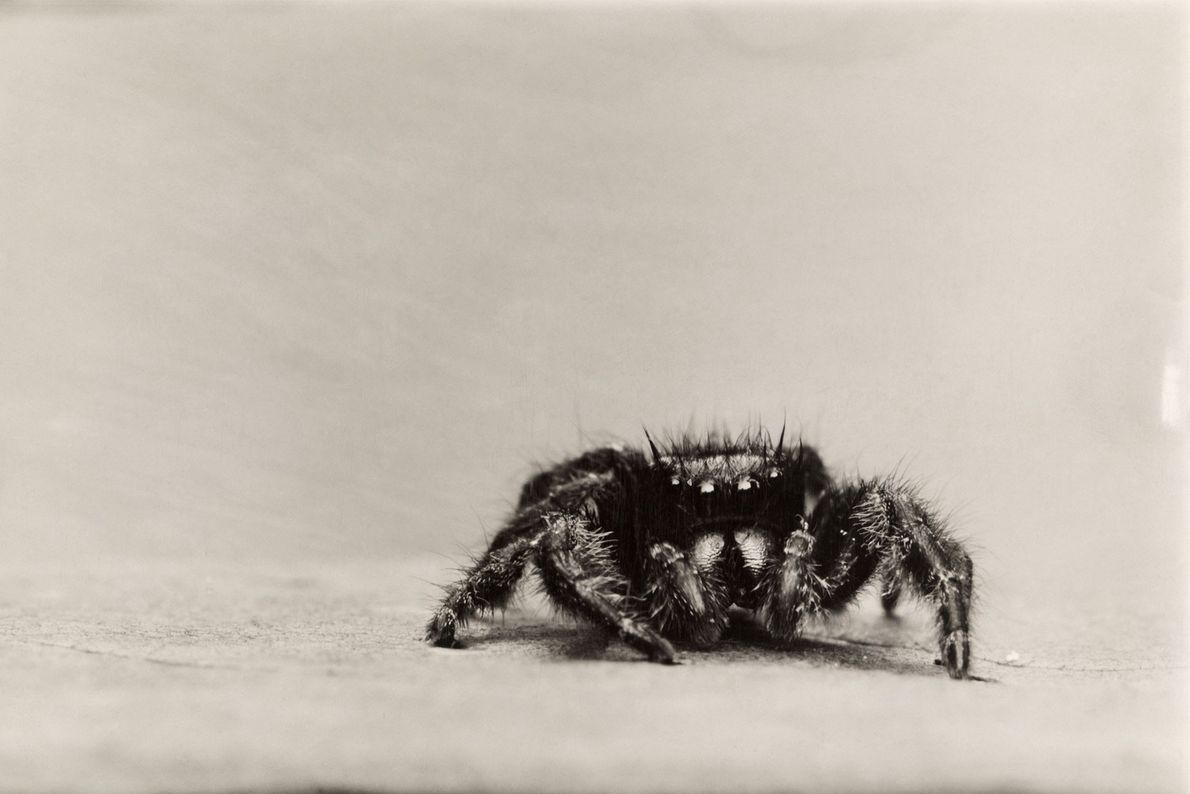 Jumping spiders, a very diverse group well known for their colours and elaborate mating rituals, have ...