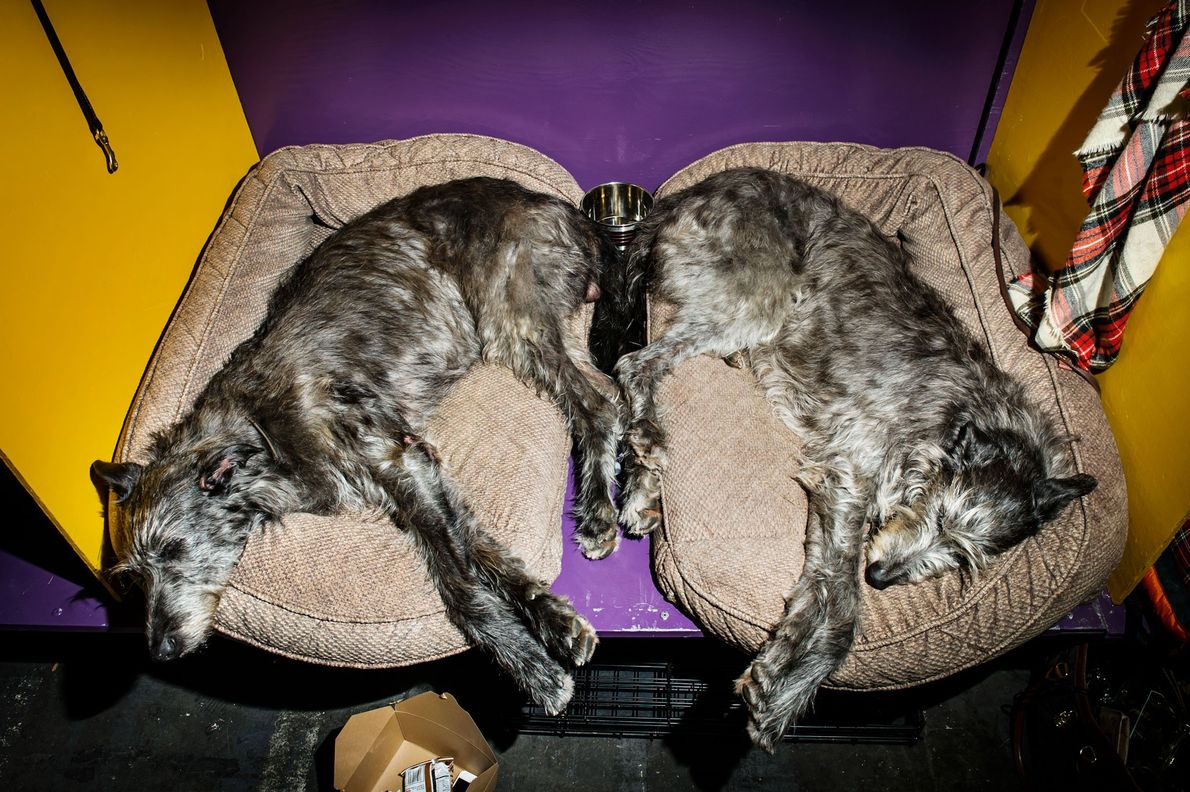Two Scottish Deer Hounds, seven-year-old Seaforth (left) and eight-year-old Rhionnach (right) nap backstage. Rhionnach, having been ...