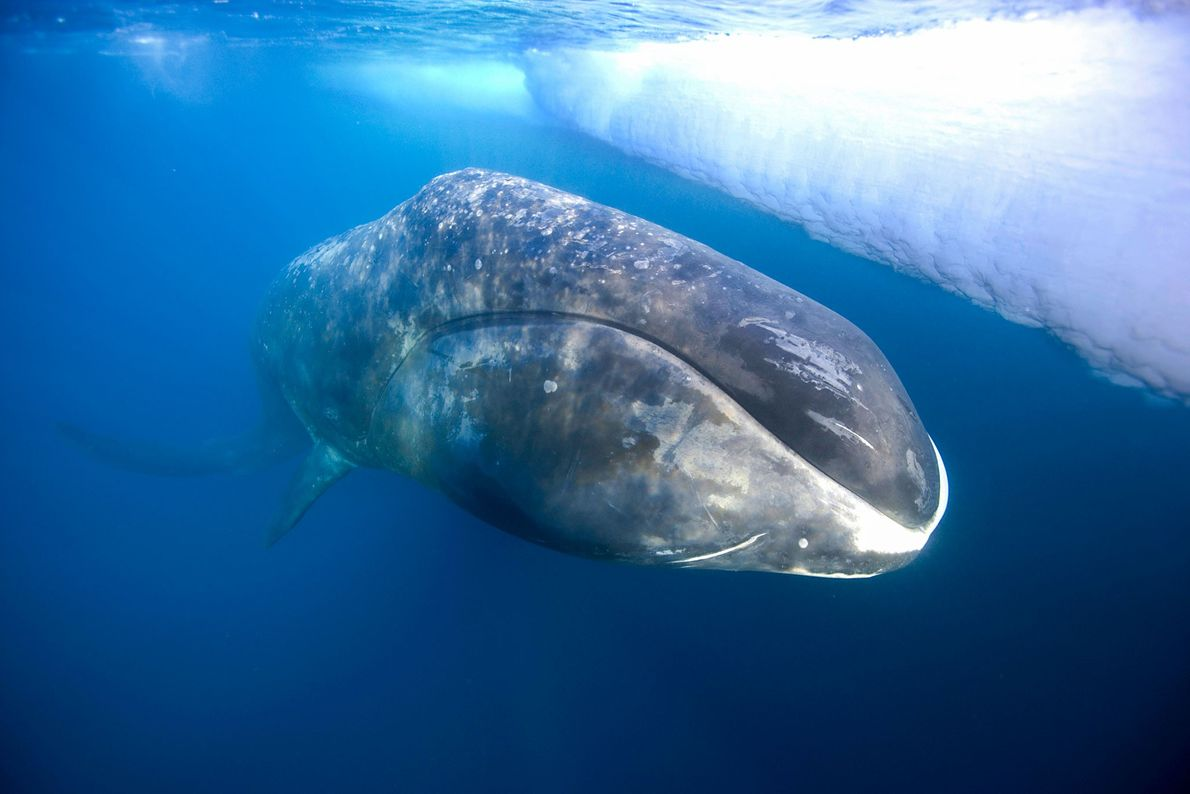 The bowhead, which lives in chilly northern waters, can live up to 200 years. A cold ...