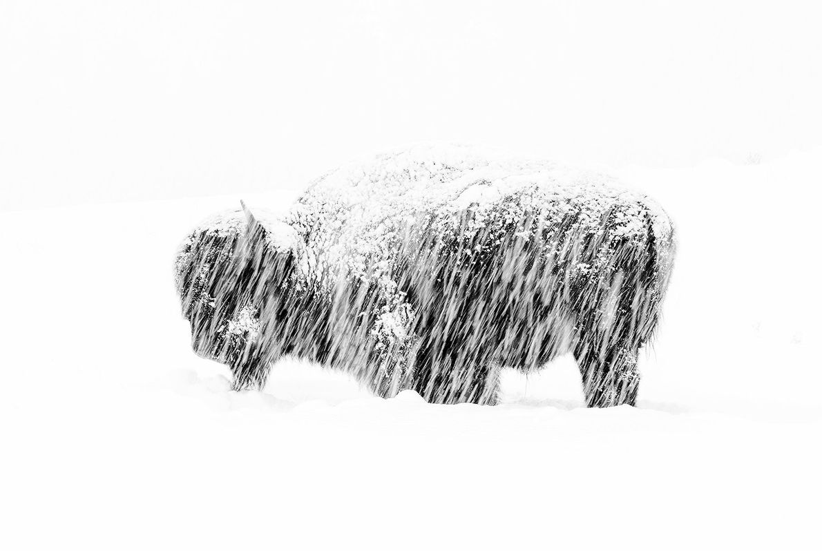 This photograph of a lone bison during a snowstorm in Yellowstone National Park won Max Waugh ...
