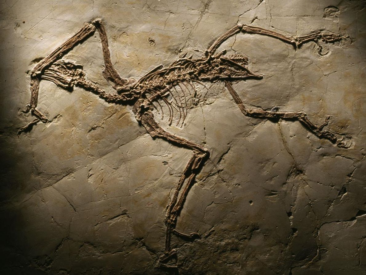 This Sapeornis chaoyangensis fossil, housed in a Beijing museum, offers clues about the feeding habits of ...